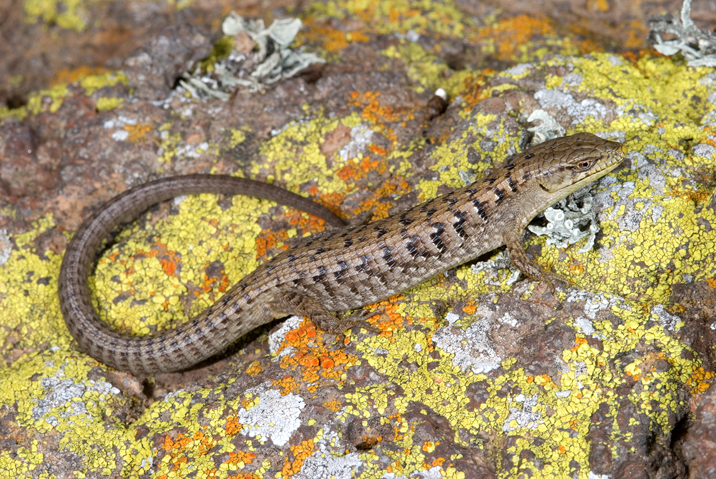 California Alligator Lizard. Photo by Stuart Wilson.