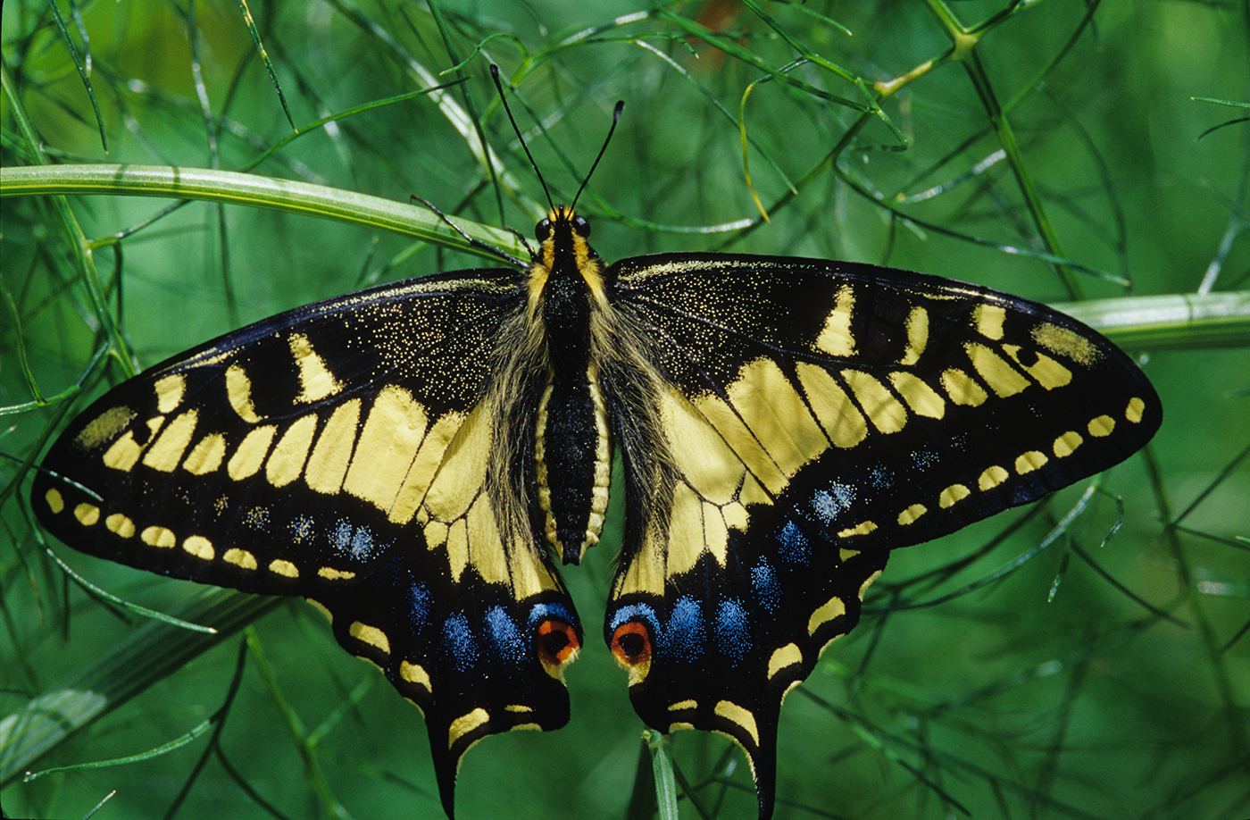 Anise Swallowtail Butterfly. Photo by Stuart Wilson.