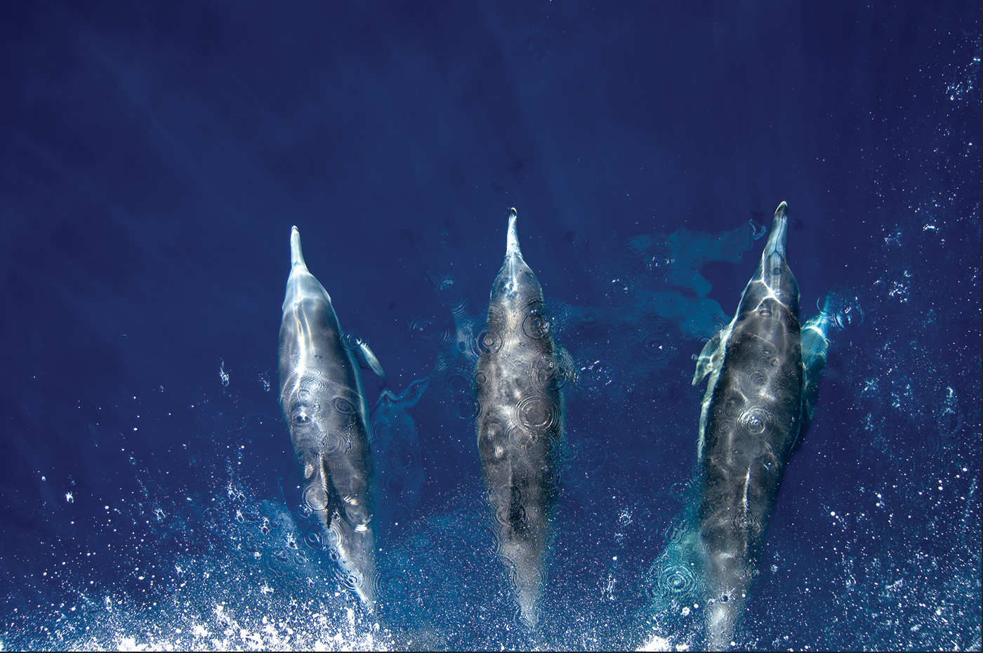 Dolphins ride the wake on the bow of a ship. Photo by Stuart Wilson.