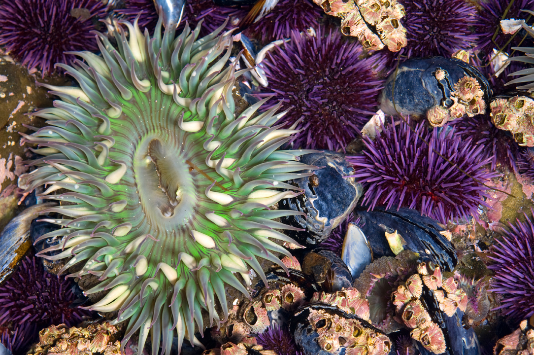 Moonglow Anemone and Purple Sea Urchins. Photo by Stuart Wilson.