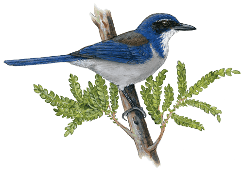 Drawing of Island Scrub-jay on Ironwood tree