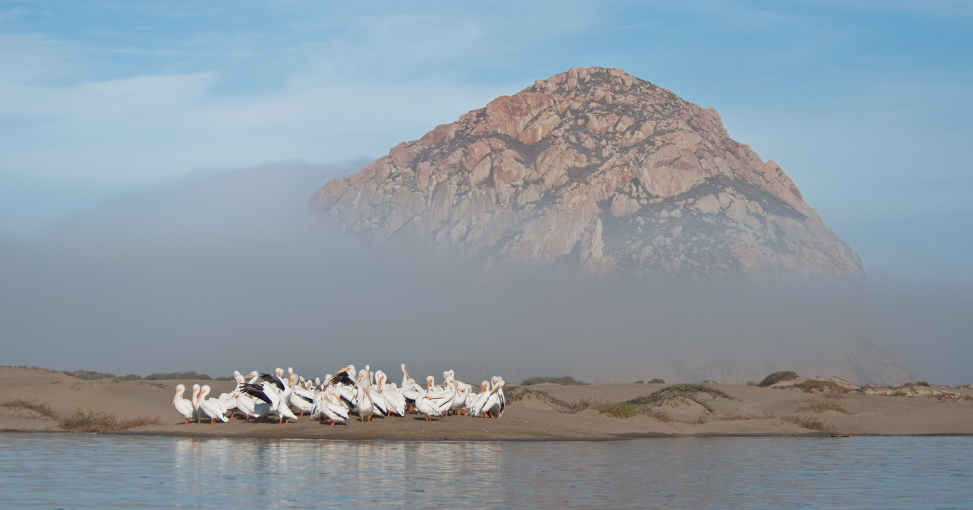 American White Pelicans at Morro Rock. Photo by Stuart Wilson.