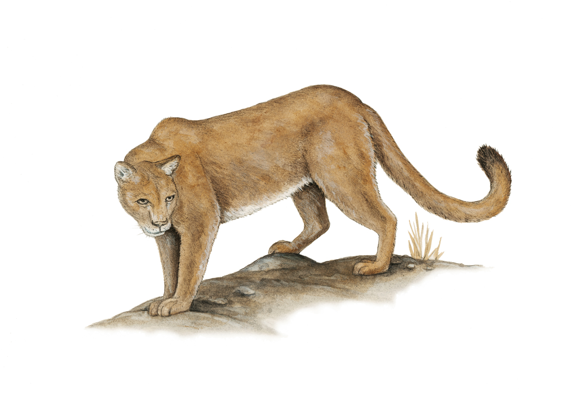 Mountain Lion. Illustration by Peter Gaede.