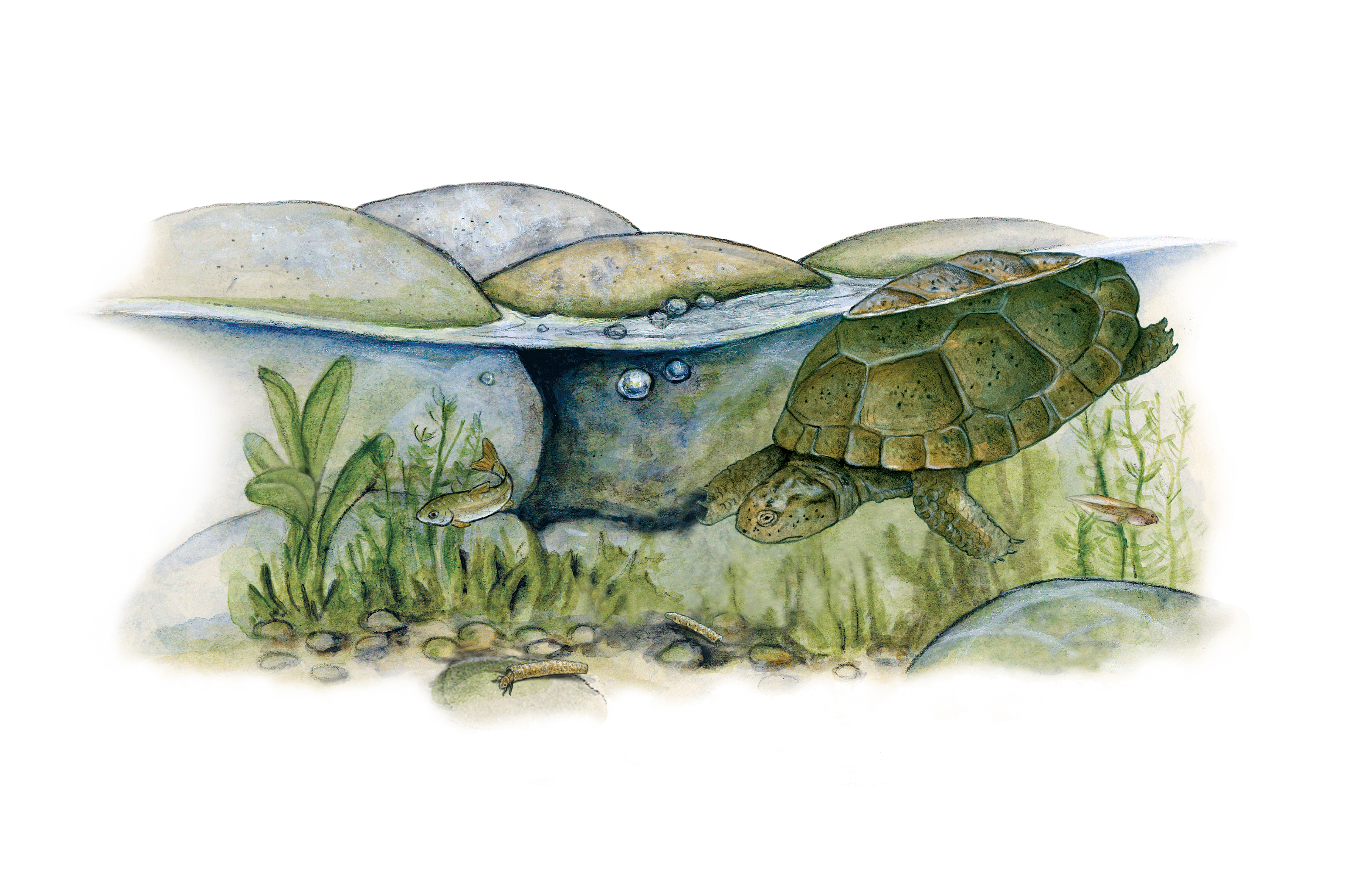 Pond Turtle food habits. Illustration by Peter Gaede.
