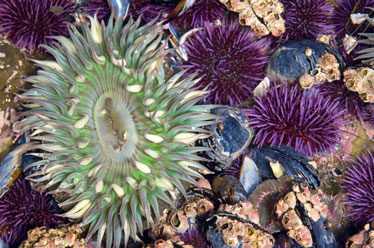 Sea Anemone with Urchins.