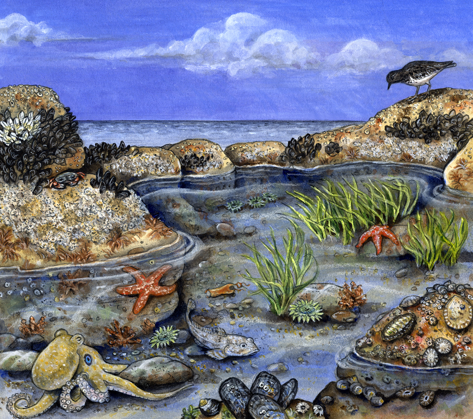 Tidepool scene. Illustration by Peter Gaede.