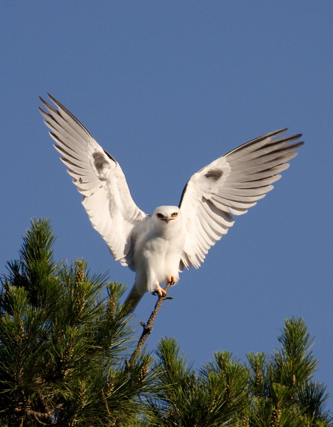 White-tailed Kite. Photo by Stuart Wilson.