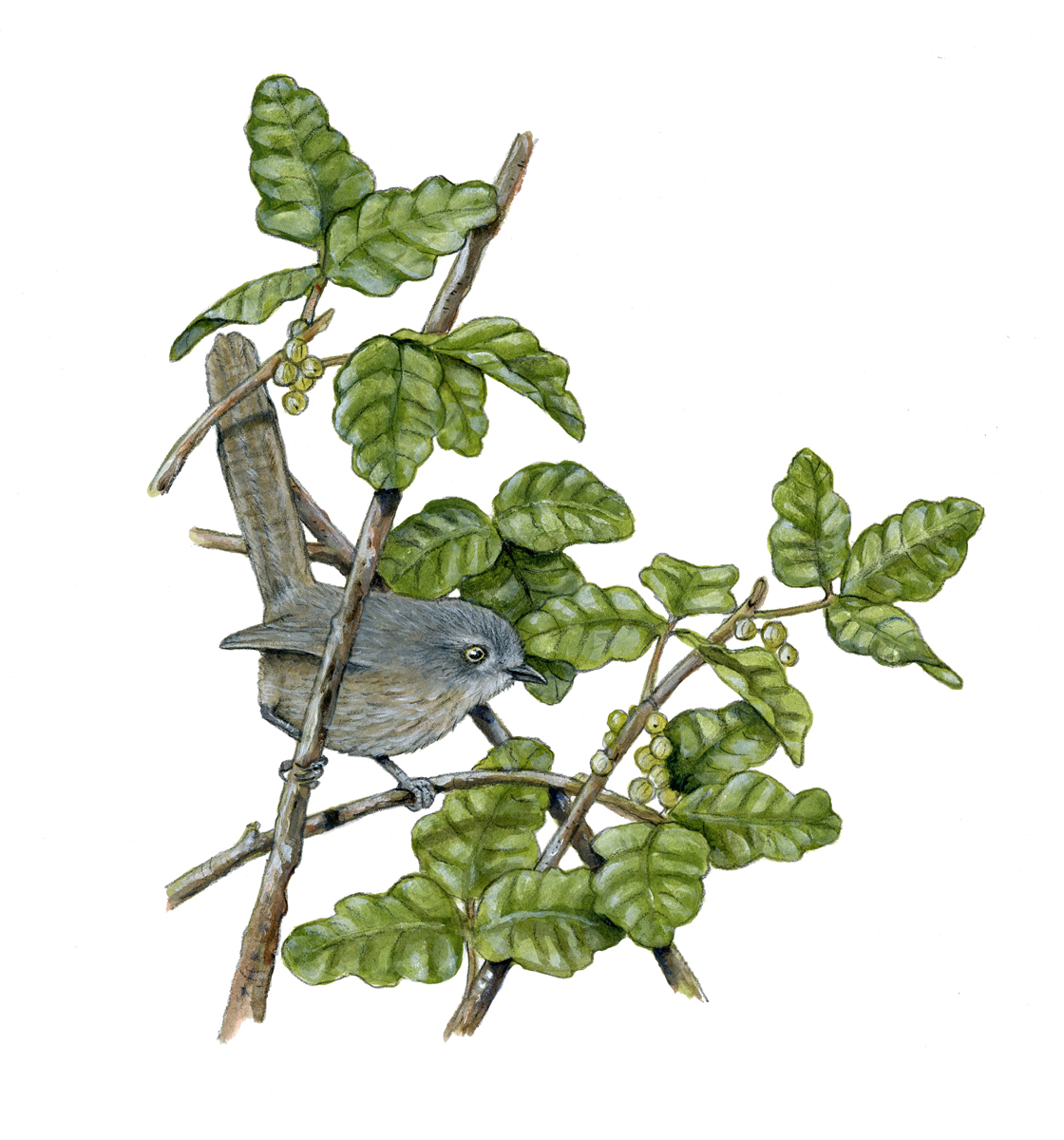 Wrentit in Poison Oak. Illustration by Peter Gaede.