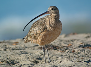 2014-10-29 Long-billed Curlew1