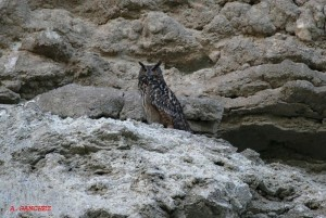 Eagle Owl in the Ebro Valley by Alfredo Sánchez
