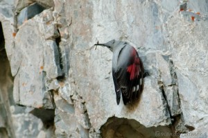 Wallcreeper in the Pyrenees by Fernando Carmena