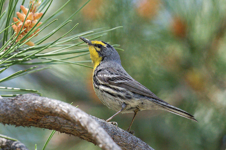 Photo of Grace's Warbler