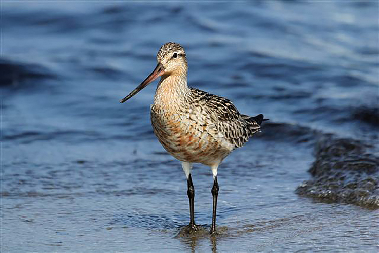 Photo of Bar-tailed Godwit. Photo by W. Fritz.