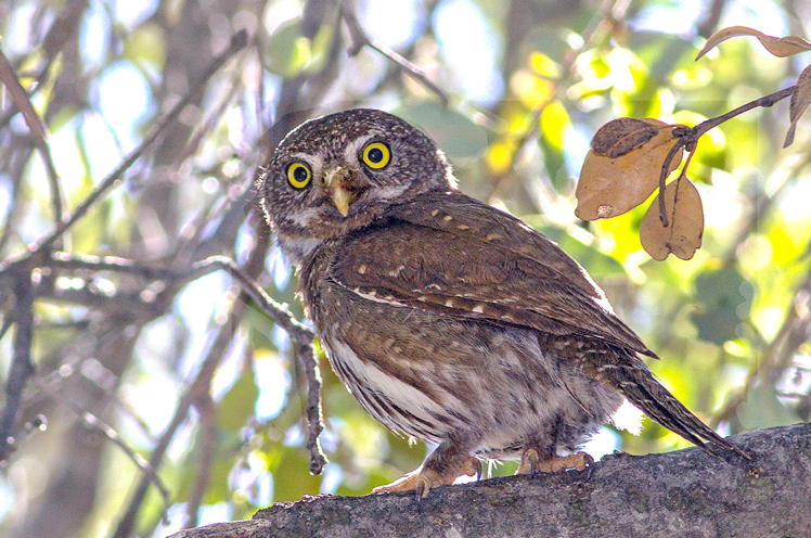 Photo of Pygmy Owl